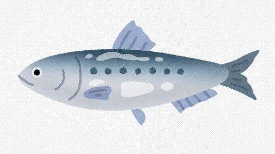 【京都】マイワシ、30年ぶりの豊漁 理由分からず