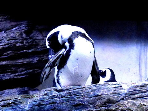 ペンギン羽繕う