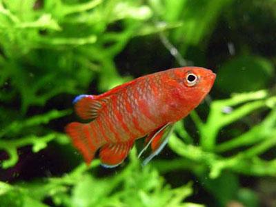 【スカーレットジェム】スカーレットジェム・・・人工飼料に餌付かない魚www
