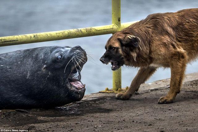 アシカ「お?やんのかコラ?お?」 イヌ「なんだこいつナメてんのか」 チリの港で異種間バトルが繰り広げられる