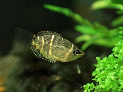【グラミー】グラミー・・・地味で汚い魚なのにどうして人気なの?