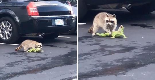 【衝撃映像】野生のイグアナさん、駐車場を歩いていたところアライグマに捕食されてしまう・・・ フロリダ