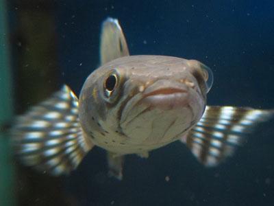 【スネークヘッド】スネークヘッド・・・14cmサイズに与える生餌はメダカと小赤どっちがいいですか?