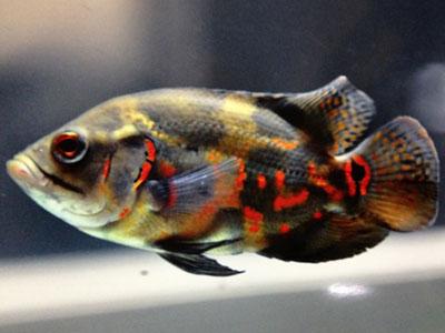 【アクアリウム】中型魚で人に懐くやつ居る?