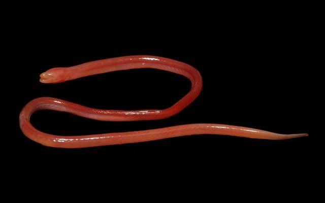 全身真っ赤な新種の『タウナギ』、インド北東部の湿地帯で発見される 皮膚呼吸が可能(画像あり)