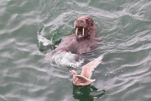 野生のセイウチ、海鳥をおもちゃにして遊んでいる事が判明 露サンクトペテルブルク大研究