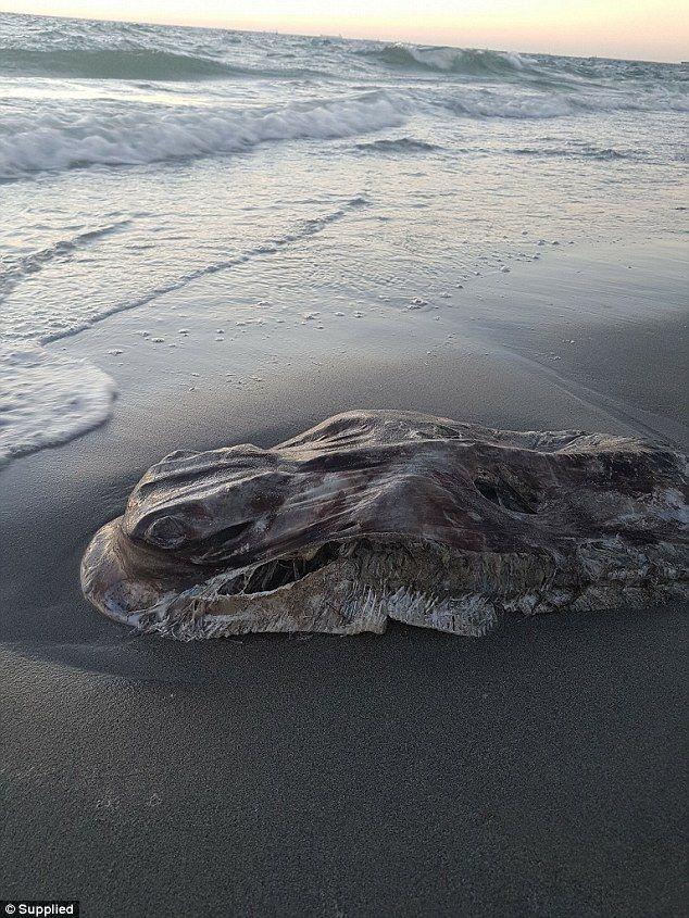 【画像あり】オーストラリアの砂浜で扁平の奇妙な海洋生物の死骸が発見され話題に いったいこれは・・・