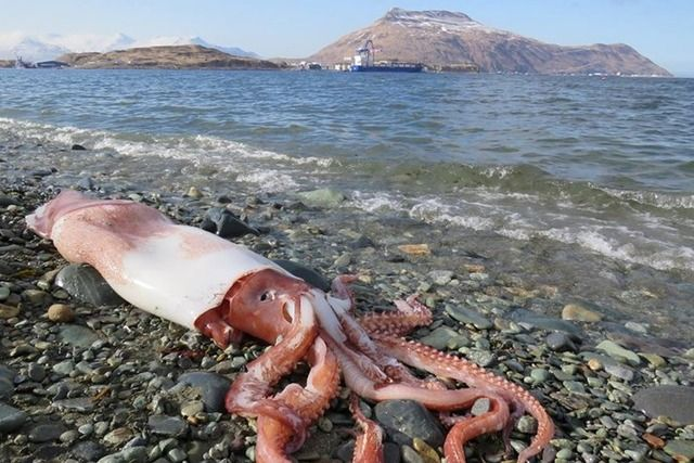アリューシャン列島の海岸で珍しい深海の巨大イカ「ニュウドウイカ」が発見される(画像あり)