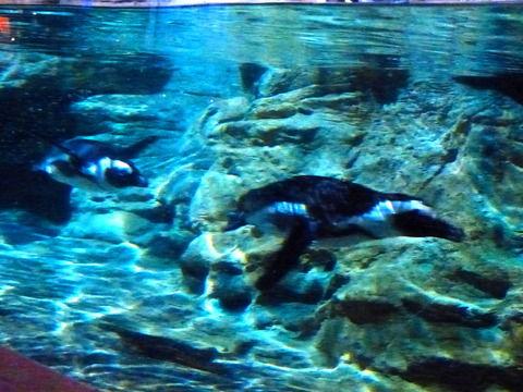 ペンギン タンデムで泳ぐ