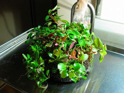 【テラリウム】テラリウム・・・「有茎草MIX」生体なしCO2無添加でも育ちます?