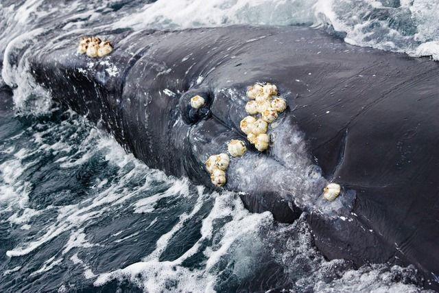 【画像】鯨類の生殖器を好んで寄生する生物『スリッツボ』、吸着した裏面から麻薬物質を送り込みクジラを興奮させ分泌液を啜る -民明水族館