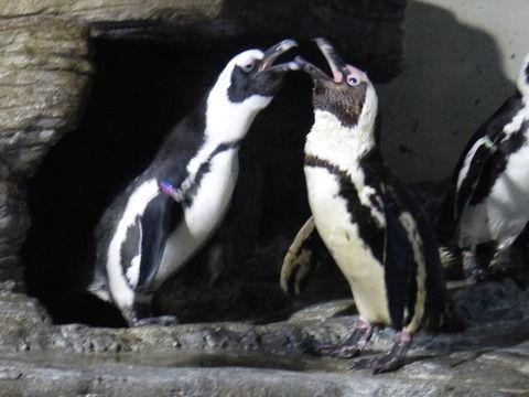 ペンギン互いに吠える