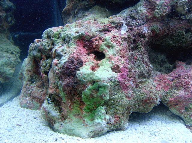 【衝撃】海水水槽に使う「ライブロック」から人骨のようなものが発見される ((((;゚Д゚))))ガクガクブルブル