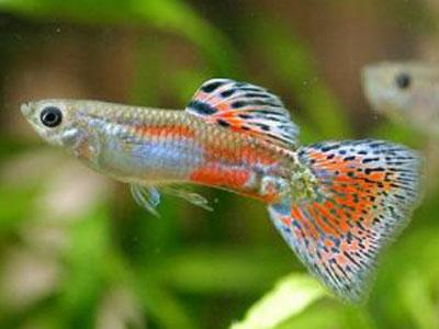 【グッピー】混泳させると合いの子産まれるから絶対にダメって魚なんだっけ?