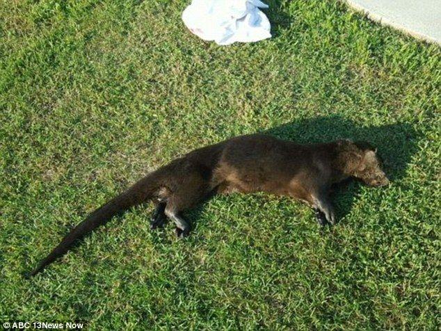 【画像】アメリカで狂犬病を発症したカワウソが14歳の少女を襲う!→結果、家族らに撲殺される