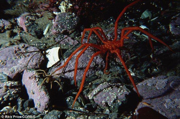約25cmにまで成長!南極海に生息する巨大「ウミグモ」がヤバすぎる・・・あまりにも大きいため科学者も困惑