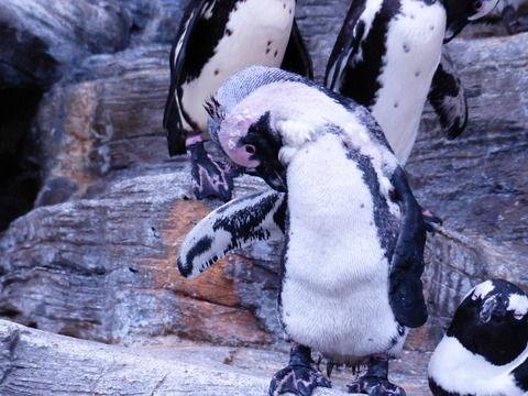 ペンギンの抜け毛
