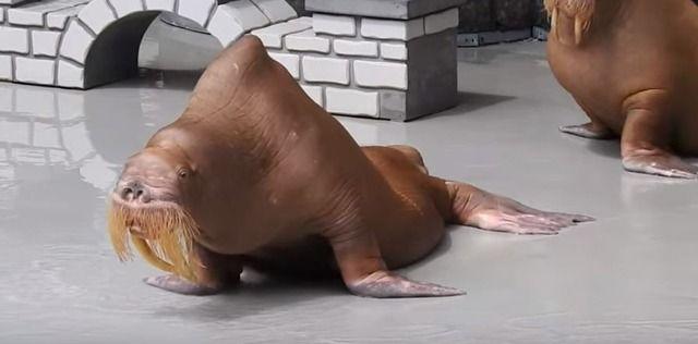 カナダの水族館でガリガリに痩せ細った「セイウチ」が発見され動物愛護活動家が抗議