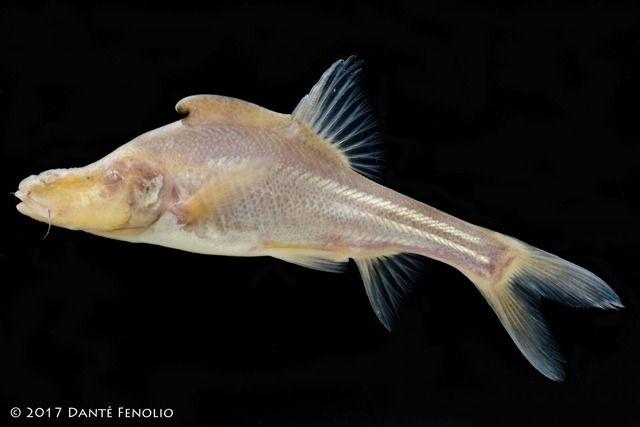 【珍魚】背ビレに奇妙な謎の部位・・・中国の洞窟で非常に稀な淡水魚が発見される