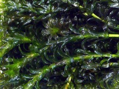 【水草】水草・・・アナカリスが黒色に変色していくのは何が足りない?