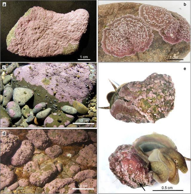 """【画像あり】クロアチアで""""淡水""""に生息する『サンゴモ』が世界で初めて発見される"""