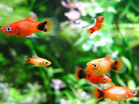 【ミッキーマウスプラティ】熱帯魚を助けて!