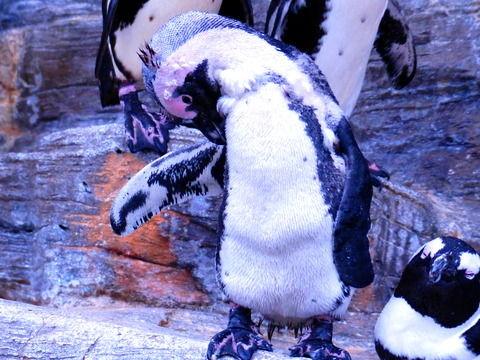 ペンギン換羽中