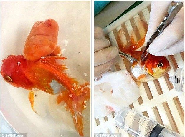 【凄い】ヤバすぎる程巨大な腫瘍を患った『金魚』、イギリスの敏腕獣医によって救われる