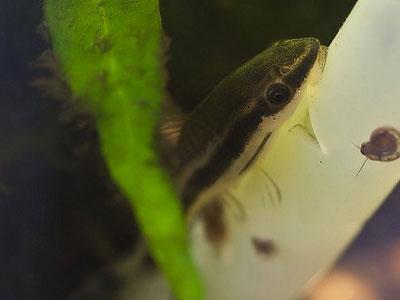 【オトシンクルス】少し強めの水流を作ってやれば苔る?