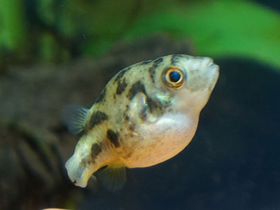 【アクアリウム】貝類ならアベニーパファーの方がよく食う!