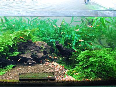 【レッドビーシュリンプ】水草水槽だから飼育も簡単で順調に増えてるのかな? アクアリウム速報