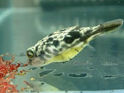 【淡水フグ】人工餌食わんとか毎日赤虫なんか?
