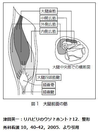 大腿四頭筋断面図