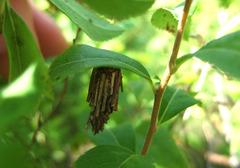 オオミノガの蓑虫2