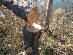 切られた梅の木2