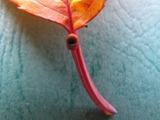 桜の蜜腺2