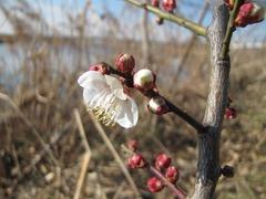 梅の花 1月26日