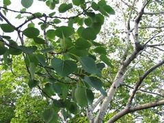 荒川自然公園ヤマナラシ葉
