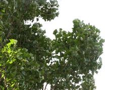 風にそよぐ葉