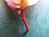 桜の蜜腺3