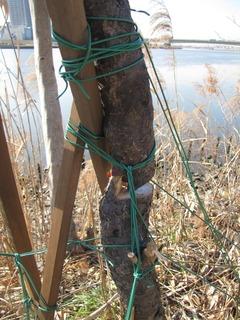 梅の木 保護2