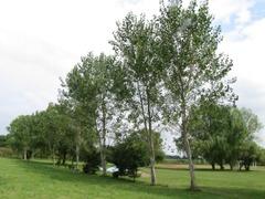 ヤマナラシ並木( 8本)