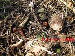 大きさ(近くにオオカマキリの卵鞘)