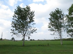 ヤマナラシ並木2