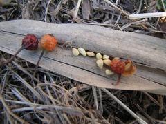 ノイバラの実と種