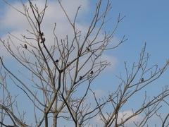 ムクドリのなる木