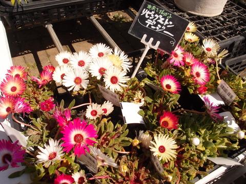 リビングストン デージー 花の名前 日光に当たると開く