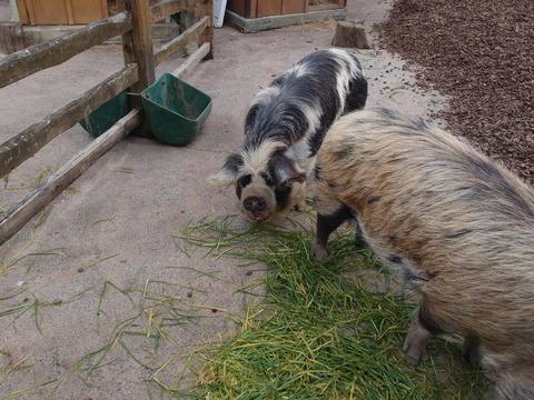 オークランド 動物園 kunekune pig クネクネピッグ