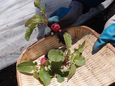 ラディッシュ はつか大根1 移植して大丈夫 家庭菜園