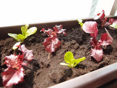 リーフサラダレタス5 家庭菜園 育て方